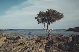 Pine in the seashore