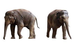 two elephants isolated