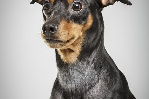 Studio portrait of an expressive pinscher dog