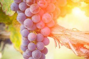 Backlit Ripe Fall Grapes on Vine