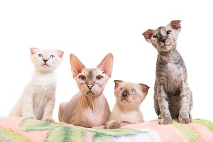 Purebred sphinx cat family