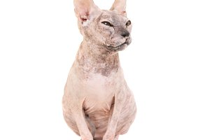 Sitting purebred sphinx cat