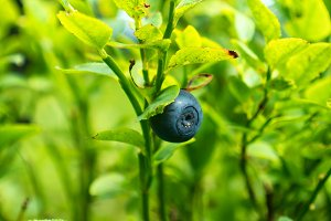 Wild blueberry in forest