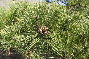 Needle and cones of relict pine