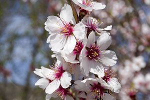 Flowers of almonds, close-up.