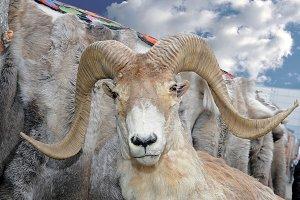 The stuffed head of bighorn sheep