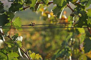 Grapes & Vines by Barbed Wire