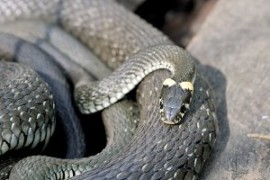 Grass snakes Natrix Natrix in Latin