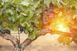 Backlit Wine Grapes on the Vine
