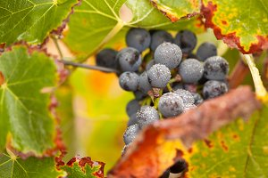 Lush, Ripe Wine Grapes with Dew
