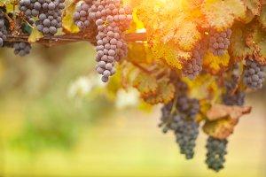 Backlit Grapes On the Vine