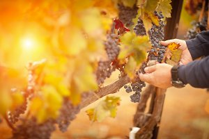 Farmer Inspecting Wine Grapes