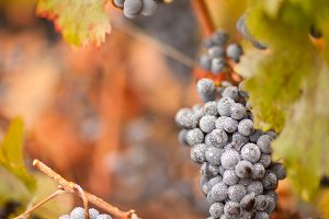 Lush, Ripe Wine Grapes with Mist Dew