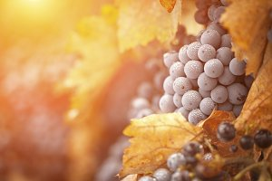 Backlit Wine Grapes with Dew