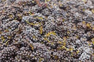 Ripe Harvested Wine Grapes