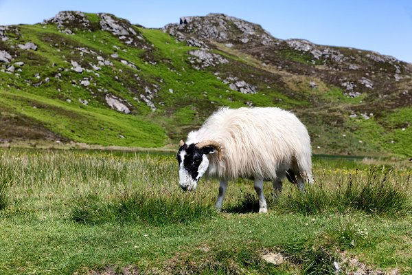 Animal Stock Photos: Tigerpix LLC - Sheep in Ireland