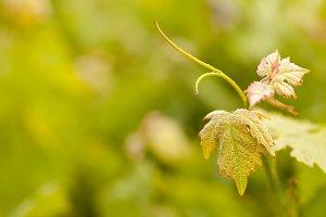 Beautiful Grape Vineyard Leaves