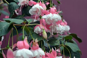 Pink White Rainforest Flowers