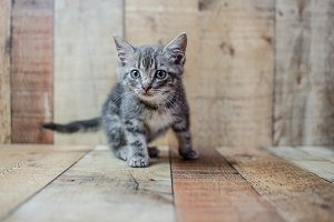 Cute small baby silver tabby cat