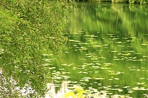 Lily Pond and Green Trees