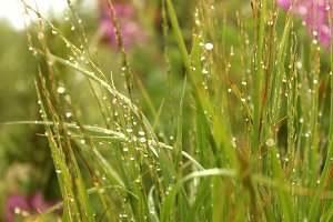 Morning Dew Grass