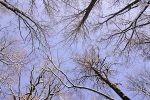 Looking up at trees branches in winter