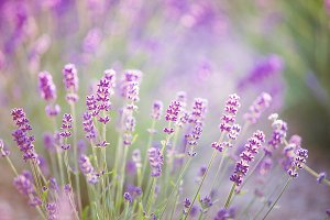 Sunset gleam over purple flowers of lavender.