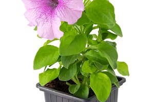 Petunia flower in plastic pot.