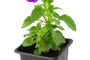 Pansies viola tricolor flower.