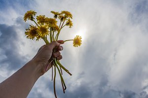 A woman's left hand with yellow dandelions