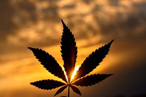 Large cannabis leaf, marijuana close-up on blurred background of setting sun with rays of light. Copy space. Concept of growing hemp