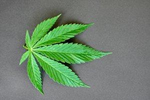 Medical sheet of marijuana on neutral gray background. Green cannabis. Young hemp
