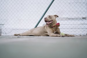 Brown Pitbull dog playing