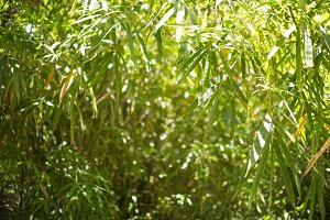 Bamboos Forest background