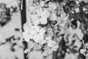 Flowers Black and White