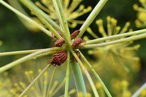 Minstrel Bugs Fennel Plant
