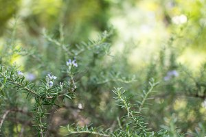 Weeping Rosemary plant
