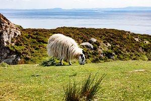 Sheep near Ocean