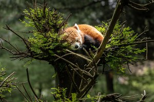 Red Panda asleep in tree