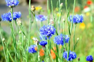 Blue Corn Flower Meadow