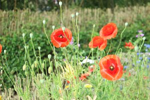 Red Poppy Field Wild Flower Meadow