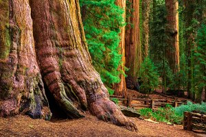 Ancient General Sherman Tree in Sequoia National Park