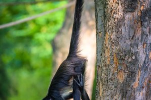 Geoffroy's Spider Monkey hangin on a rope