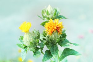 Yellow Safflower Thistle Like Flower