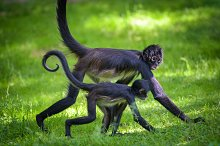 Two Geoffroy's Spider Monkeys walking by  in Animals