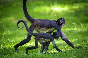 Two Geoffroy's Spider Monkeys walking