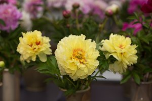 Yellow peonies, variety Bartzella. Selective focus