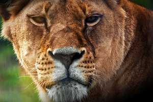 Lioness portrait close up