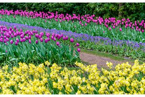 Colorful tulips at the Keukenhof, the Netherlands