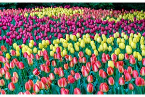 Colorful tulips at the Keukenhof, the Netherlands